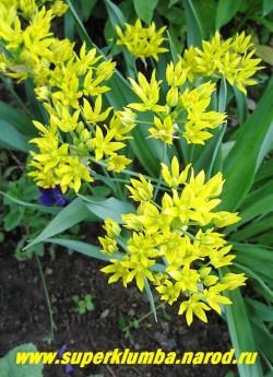 ЛУК МОЛЯ или ЗОЛОТОЙ (Allium moly) декоративный, яркие желтые соцветия до 10 см в диаметре удачно сочетаются с сизыми листьями, неприхотливый, высота 15-20 см, цветет в июне, ЦЕНА 100 руб (5 лук).