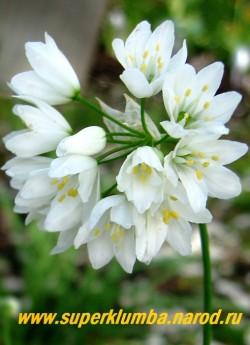 ЛУК ЗЕБДАНСКИЙ (Allium zebdanense) очень красивый некрупный декоративный лук с узкими плоскими изящно загнутыми вниз листьями и белоснежными крупными цветами собранными в зонтичные соцветия диаметром 5-6см на высоких 25-30 см цветоносах. Цветет в конце мая-июне.   ЦЕНА 120 руб (3-4 лук)