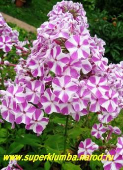 Флокс метельчатый МИШЕНЬКА (Phlox paniculata Mishenka) М. Дронов - до 1968 г, Р, 70/3,3. Белый с пурпурно-фиолетовыми мазками по центру лепеска. Соцветие большое, ветвистое, плотное,  НЕТ В ПРОДАЖЕ