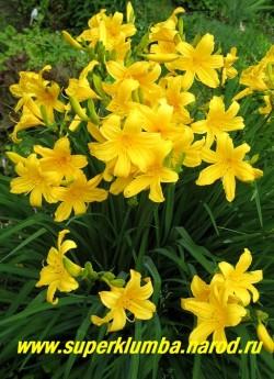 Лилейник ДЮМОРТЬЕ (Нemerocallis dumortieri)  цветущий куст. Очень обильный, нарядный, хорошо разрастается.  ЦЕНА 150 руб (1 шт) или 300 руб (кустик из 3 шт)