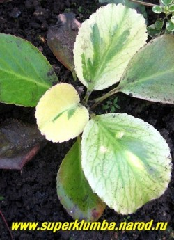 """БАДАН ГИБРИДНЫЙ """"Солар Флэр"""" (Bergenia hybride """"Solar Flare"""") Бадан с некрупной листвой с широкими кремовыми мазками, которые осенью и весной приобретают яркий розово-креветочный оттенок. Ярко-розовые цветы появляются весной и иногда повторно, в конце лета-осенью.   НЕТ  В ПРОДАЖЕ"""