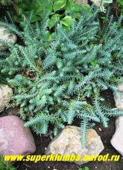ОЧИТОК.СКАЛЬНЫЙ ОТОГНУТЫЙ (Sedum rupestre ssp. reflexum)  растение высотой 15-20 см. Листья шиловидные, сизо-голубые с пурпурными кончиками . Эффектное декоративнолиственное и декоративноцветущее растение. Устойчиво в культуре. ЦЕНА 150 руб (1 деленка) НЕТ НА ВЕСНУ