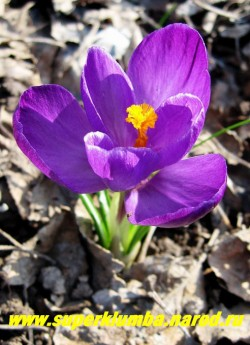 """КРОКУС ВЕСЕННИЙ (Crocus vernus) """"фиолетовый крупноцветковый"""", цв. апрель-май, ЦЕНА 100 руб (2 шт)"""
