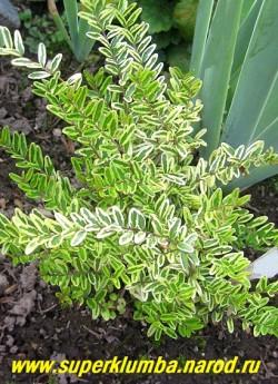 """ЖИМОЛОСТЬ ШАПОЧНАЯ """"Вариегатная"""" (Lonicera pileata Variegata) карликовый кустарничек до 20 см в высоту с мелкими 1-2 см длиной вытянутыми листочками с бело- зеленой окраской . В бесснежные морозные зимы без укрытия может вымерзнуть. НЕТ В ПРОДАЖЕ"""