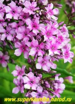 Флокс метельчатый СТАРБЁСТ (Phlox paniculata Starburst) Р.В.Гаален, П, 70-90/0,7-1. Очаровательный мелкоцветковый флокс с нежными звездчатыми сиренево-зеленоватыми цветками с малиновым глазом, в очень густых крупных соцветиях. ЦЕНА 300 руб (1 шт)