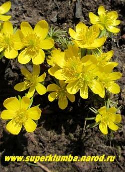 ЭРАНТИС КИЛИКИЙСКИЙ (Eranthis cilicica) Миниатюрное растение высотой 5-10см. Цветет в апреле желтыми одиночными цветами на вершине пурпурных побегов. Эфемероид ( летом листва исчезает)  НЕТ  В ПРОДАЖЕ