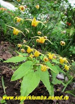 """ГОРЯНКА """"АМБЕР КВИН"""" (Epimedium """"Amber Queen"""") Крупные с   длинными лепестками цветки темно-желтого цвета с оттенками меди и янтаря  возвышаются   над плотной кожистой листвой.  Молодые листья имеют красивый кирпично-красный рисунок. Высота 35 см. НОВИНКА!  ЦЕНА 700 руб (1 делёнка)"""