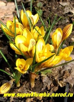 """КРОКУС ЗОЛОТИСТЫЙ """"Фускотинктус"""" (Crocus chrysanthus """"Fuscotinctus """") Цветы лимонно-желтого цвета с коричневыми полосками снаружи лепестков. Цветет апрель-май, ЦЕНА 120 руб (3 шт)"""