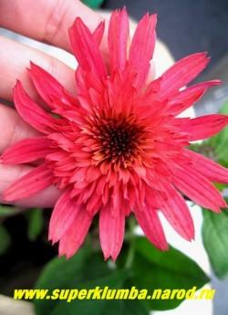 """Эхинацея """"МАЛИНОВЫЙ ТРЮФЕЛЬ"""" (Echinacea """"Raspberry Truffle"""") необычайно красивый малиновый цвет с коралловым оттенком , густомахровые цветы с горизонтально расположенной юбочкой, высота 70 см . НОВИНКА! ЦЕНА 400 руб (делёнка)"""