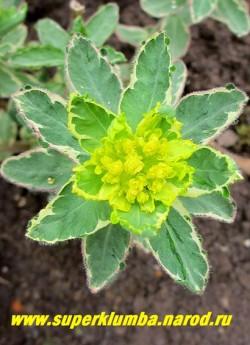"""Соцветие МОЛОЧАЯ МНОГОЦВЕТНОГО """"Вариегата"""" (Euphorbia polychroma """"Variegata"""") крупным планом. НОВИНКА! ЦЕНА 300 руб"""
