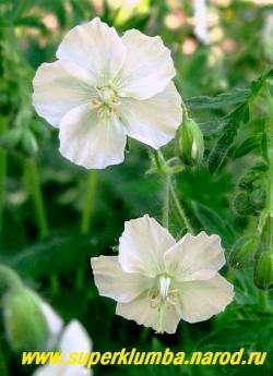 """ГЕРАНЬ КРАСНО-БУРАЯ """"Альбум"""" (Geranium phaeum """"Album"""") Цветы крупным планом. ЦЕНА 170 руб. (1 шт)"""