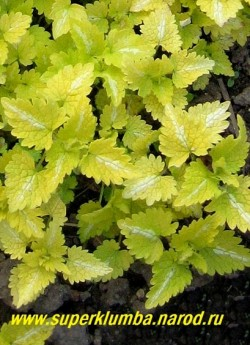 """ЯСНОТКА КРАПЧАТАЯ """"Ауреум"""" ( (Lamium maculatum """"Aureum"""") ярко-желтая листва с серебряной полоской, Стебли лежачие, сильно ветвящиеся, светло-пурпурные цветы, цв. май-июнь, выс. 5-10 см, с цветоносами до 20 см. ЦЕНА 200-250 руб (1дел)"""