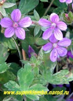 """ГЕРАНЬ ЮШИНОЙСКАЯ """"Конфетти"""" (Geranium yoshinoi """"Confetti"""" ) цветы крупным планом. НОВИНКА! ЦЕНА 300 руб (1шт)"""