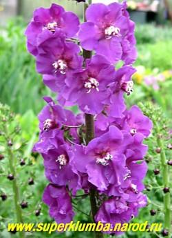 """КОРОВЯК гибридный """"ФИОЛЕТОВЫЙ"""" (Verbascum х hybridum), соцветие крупным планом, предпочитают солнечное место и небогатые рыхлые почвы. В условиях Подмосковья малолетник, но легко возобновляется самосевом. ЦЕНА 250 руб (1 шт)"""