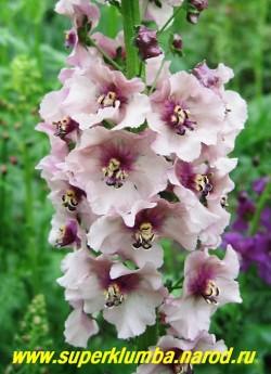 """КОРОВЯК гибридный """"ТЕЛЕСНО-КОРИЧНЕВыЙ"""" (Verbascum х hybridum) телесные с коричевым пятном в основании цветки собраны в длинные колосовидные соцветия, цветет июнь-июль, высота до 80см. НЕТ В ПРОДАЖЕ"""