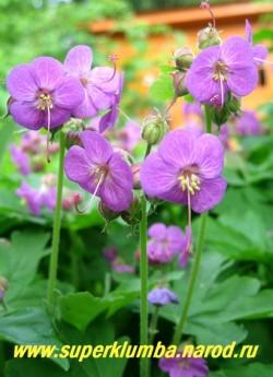 """ГЕРАНЬ КАНТАБРИГИЙСКАЯ """"Кэмбридж"""" (Geranium x cantabrigiense ''Cambridge'') . Цветы крупным планом. Засухоустойчива, светолюбива , но прекрасно растет и в тени , где становится крупнее и пышнее. Прекрасно смотриться в рокариях, горках, миксбордерах, вазонах. ЦЕНА 150 руб (1 шт)"""