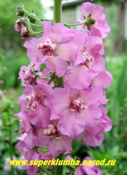 """КОРОВЯК гибридный """"РОЗОВЫЙ"""" (Verbascum х hybridum), розовые цветки с темными тычинками собраны в длинные колосовидные соцветия, цветет июнь-июль, высота до 80см, ЦЕНА 200 руб(1 шт)"""