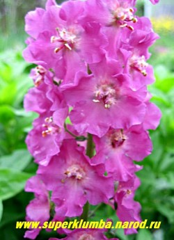 """КОРОВЯК гибридный """"ТЕМНО-РОЗОВЫЙ"""" (Verbascum х hybridum), темно-розовые цветки собраны в длинные колосовидные соцветия, цветет июнь-июль, высота до 80см. ЦЕНА 250 руб (1 шт)"""