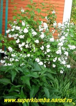 """Куст ЧУБУШНИКА МАХРОВОГО """"Сноубель"""" (Philadelrhus """"Snowbelle"""" ) в саду. ЦЕНА 1200 руб (взрослый куст  7 летка)"""