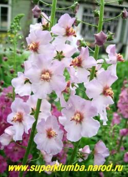 """КОРОВЯК гибридный """" НЕЖНО-РОЗОВЫЙ"""" (Verbascum х hybridum), нежно-розовые цветки собраны в длинные колосовидные соцветия, цветет июнь-июль, высота до 80см, ЦЕНА 200 руб (1 шт)"""