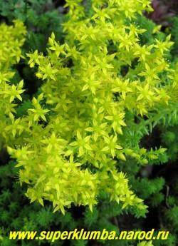 """ОЧИТОК ШЕСТИРЯДНЫЙ(Sedum sexangulare ) с цветами. Соцветие рыхлое, щитковидный полузонтик. Цветки светло-желтые, звездчатой формы . Цветет обильно с конца июня 30-35 дней. При высадке в """"сухих каскадах"""" имитирует бегущую воду. ЦЕНА 150 руб (1 деленка)"""