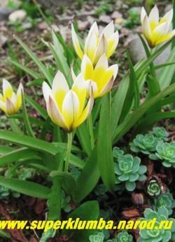 Тюльпан ТАРДА или ВОЛОСИСТОТЫЧИНКОВЫЙ (Tulipa tarda= dasystemon)  природный вид, звездчатые желтые с белыми концами цветы раскрывающиеся на солнце, многоцветковый ( из 1 лук. до 6 цветков) лист с малиновой каймой, долгоцветущий ( до 3-6 нед) высота 10-15 см, ранние ЦЕНА 50 руб (1 лук).