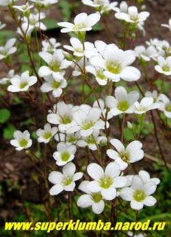 КАМНЕЛОМКА ТРЕХВИЛЬЧАТАЯ (Saxifraga trifurcata) Цветы крупным планом. НОВИНКА!  ЦЕНА 150-200 руб (1дел )