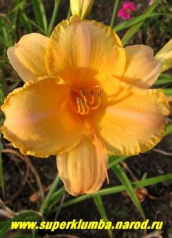 Лилейник ПЬЮЭ ЭНД СИМПЛ (Hemerocallis Pure and simple) очень красивый дынно-розовый  цвет, лепестки гофрированы желтой каймой,  диаметр до14 см. Высота 70 см.  ЦЕНА 220 руб (1 шт)
