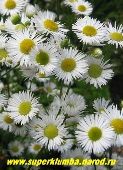 ТОНКОЛУЧНИК БЕЛЫЙ  (Phalacrolóma ánnuum/ Erigéron ánnuus)цветы крупным планом. Диаметр цветка 2-2,5 см. Двухлетка, но замечательно самосеется. ЦЕНА 150 руб (делёнка)