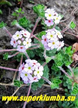 цветущий ПРОЛОМНИК МОЛОДИЛОВИДНЫЙ (Androsace sempervivoides), Цветы розовые с зеленым глазком, собраны в шаровидные соцветия на 2-3 см стебле . Зеленоватый глазок цветка становиться желтым, затем пурпурным. ЦЕНА 200 руб (3-4 шт)