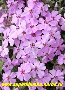 """ФЛОКС ШИЛОВИДНЫЙ """"Бонита"""" (Phlox subulata """"Bonita"""") Вечнозелёные ковры толщиной 5-10 см, распускающиеся нежно-розовыми с малиновым глазком цветами, диаметр цветка около 2 см, высота 10 см, цветет с середины мая около 30 дней. НОВИНКА! ЦЕНА  200-250 руб  (1 кустик)"""
