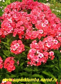 на фото куст сорта КОРАЛЛ (Phlox paniculata Koralle) в моем саду . Обильно цветет и всегда очень украшает сад. ЦЕНА 250 руб (1 шт)  500 руб (кустик: 3-4шт)