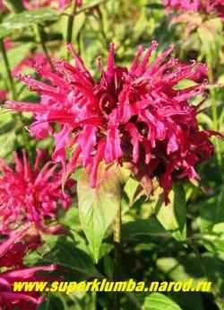"""МОНАРДА № 10 """"малиново-розовая"""" (Monarda х hybrida) , малиново-розовые цветы в собранные в 2-х или 1-но ярусные головчатые соцветия , ароматные листья (пряность) высота до 1м, цветет в июле-августе 50 дней.  ЦЕНА 250 руб (1дел)"""