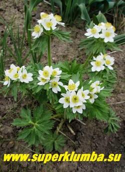 АНЕМОНА ПУЧКОВАЯ или НАРЦИССОЦВЕТКОВАЯ (Anemone fasciculata/narcissiflor) Многолетнее растение до 30-60 см высотой.  Над розеткой красивых светло-зеленых опушенных пальчато-рассеченных листьев поднимаются многочисленные цветоносы, от 3 до 8, заканчивающиеся зонтиковидным соцветием из белых  цветков диаметром до 2,5 см.   НЕТ В ПРОДАЖЕ.
