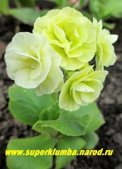 """Примула ушковая """"МАХРОВАЯ САЛАТОВАЯ"""" (Primula auricula) махровая салатово-белая примула, по мере роспуска цвет становится почти белым. Высота до 15 см, цветет май-июнь,  ЦЕНА   600 руб (1 шт)"""