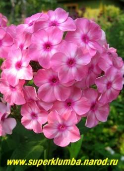 Флокс метельчатый ОЛЕНЬКА (Phlox paniculata Olenka) Гаганов П.Г., 1938., С, 85-90/3,7. Светло-розовый с белой звездой и ярким карминным колечком, не выгорает. Соцветие округло-коническое, средних размеров. ЦЕНА 250 руб (1шт) или 450 руб (кустик: 3-4шт)