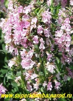 """ИССОП ЛЕКАРСТВЕННЫЙ """"Розовый"""" (Hyssopus officinalis ) фото цветоноса крупным планом. НОВИНКА! НЕТ   В ПРОДАЖЕ"""