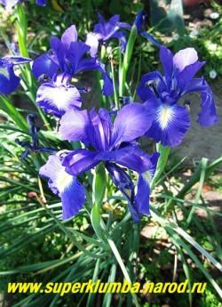 """цветущий куст КСИФИУМА АНГЛИЙСКОГО """"Капитан Разин"""" (Xiphium latifolium) в моем саду. Зацветает после того как отцветает основная масса бородатых ирисов. НОВИНКА! ЦЕНА 150 руб (1 луковица)"""