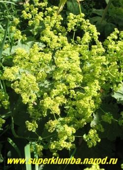 МАНЖЕТКА МЯГКАЯ (Alchemilla mollis)  Цветы крупным планом.  ЦЕНА 200 руб (делёнка)