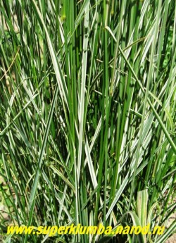 """ВЕЙНИК ОСТРОЦВЕТКОВЫЙ """"Овердам"""" (Calamagrotis acutiflora """"Overdam"""") Листва крупным планом . Листья длинные и тонкие с кремово-белыми полосами. Стебли очень прочные поэтому куст не требует подвязки. ЦЕНА 200 руб (делёнка)"""