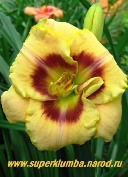 Лилейник КУСТАРД КАНДИ (Hemerocallis Custard Candy)  диаметр цветка 12см, кремово-желтый с вишневым глазом и лимонным горлом , с ярко-лимонной окантовкой по краю лепестка, цветет июль-август, выс. до 60 см, имеет множество наград, ЦЕНА 280 руб (1шт)