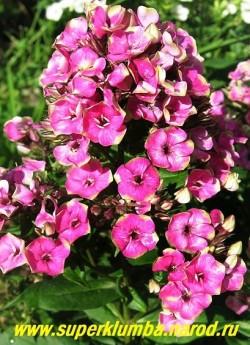 Флокс метельчатый ОРЕОЛЕ (Phlox paniculata Aureole) Verschoor 2009, С, 60/2. Новый мелкоцветковый флокс, цветы малиново-фуксиевые с желто-зеленой каймой, соцветия крупные очень плотные.   ЦЕНА 350 руб (1шт) НЕТ НА ВЕСНУ