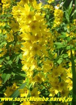ВЕРБЕЙНИК ТОЧЕЧНЫЙ (Lysimachia punctata) Цветки лимонно-желтого цвета с оранжевым глазом собраны в большом количестве на слабо разветвленной верхушке стебля. Эффектен в групповых посадках у водоемов и в миксбордерах. ЦЕНА 150 руб (куст)