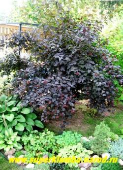 """ПУЗЫРЕПЛОДНИК КАЛИНОЛИСТНЫЙ """"ДИАБОЛО"""" (Physocarpus opulifolius ''Diabolo'') Раскидистый кустарник высотой до 3 м с темными пурпурно-фиолетовыми листьями. Не требователен, но для форм с цветными листьями предпочтительно солнечное место. ЦЕНА 400-500 руб (5-6 летки)"""