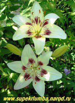 Лилия ЦЕНТЕРФОЛД (Lilium  Centerfold) Азиатский гибрид. Бело-кремовый цветок с широкими лепестками, украшенными темным узором. Ароматная. Высота 80 см.  НЕТ В ПРОДАЖЕ