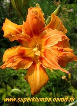 Лилейник ФУЛЬВА КВАНСО ф. ВАРИЕГАТНЫЙ (Hemerocallis Fulva v. kwanso f. Variegate) Пестролистная форма. Цветы махровые оранжево-кирпичные с ярким глазом в центре, диаметр цветка 13см, высота 80см. Цветет август-сентябрь. ЦЕНА 600 руб (1 шт)