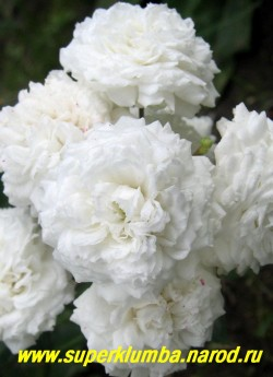 """РОЗА """"белая почвопокровная"""". Миниатюрная роза со стелющейся кроной, высота до 25 см, диаметр густомахровых белоснежных цветов 4-5 см, ЦЕНА 300-400 руб (3-5 летка)"""