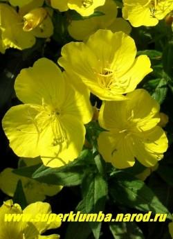 ЭНОТЕРА ЧЕТЫРЕХУГОЛЬНАЯ или ОСЛИННИК (Oenothera tetragona)  Цветет в июне-июле. Цветки лимонно-желтые с шелковыми лепестками, ароматные, крупные до 5 см в диаметре, бутоны светломалиновые. Энотера прекрасно сочетается с астильбами, колокольчиками, вероникой, лобелией. НЕТ В ПРОДАЖЕ