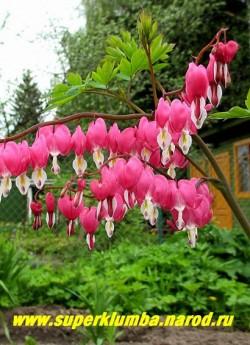 """цветы ДИЦЕНТРЫ ВЕЛИКОЛЕПНОЙ (Dicentra spectabilis), которую за их форму еще называют """"Разбитое сердце"""". Цветки розовые, плоские, сердцевидные с загнутыми лепестками, довольно крупные, до 3 см в диаметре, собраны в односторонние, дугообразно изгибающиеся кистевидные соцветия до 20 см длиной, НЕТ В ПРОДАЖЕ"""