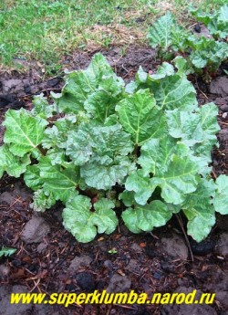 РЕВЕНЬ АЛТАЙСКИЙ (Rheum altaicum) Свои мощные листья с вкусными и полезными черешками он разворачивает ранней весной, когда еще нет другой зелени. Из ревеня варят вкусные цукаты, варенье, джем и компоты. (1 деленка)
